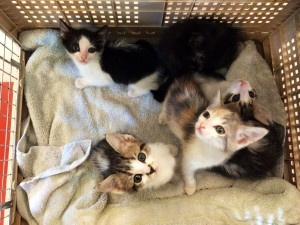 A litter of kittens arrives at the County Shelter
