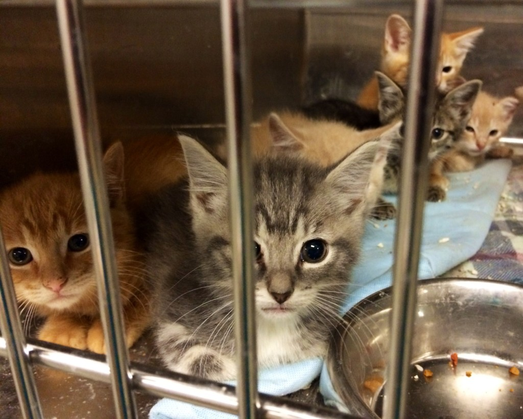 Kittens are filling up the Shelter this spring