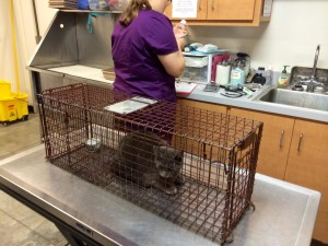 tnr cat with vets may 2016