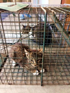cats caught for neutering july 20 2016