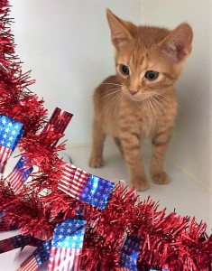 CRICKET: Domestic shorthair cat, male, 2 months old, orange Tabby, 2 pounds - $10