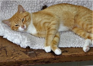 TAZ Domestic short hair cat Male -- 1 year old Orange & white tabby   6.7 lbs $10.00