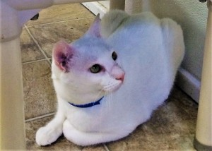 POLAR BEAR: Domestic Shorthair cat, male, 3 years old, white, 8 pounds - $10