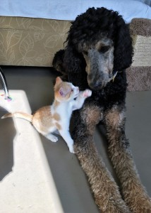 Poppy the Poodle takes pride in readying shelter kittens for adoption.