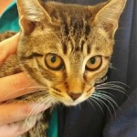 AGATHA: Domestic Shorthair kitten, female, 3 months old, black & gray Tabby, 3.4 pounds – $10