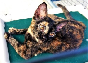 TESSA: Domestic shorthair cat, female, 4 months old, Tortoise shell, 3.6 pounds - $10