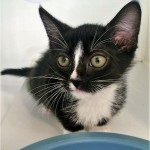 NIKOLAS: Domestic shorthair cat, male, 2 months old, black and white Tabby, 1.3 pounds - $10