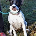 RILEY: Pointer mix, female, 1 year old, white and black, 44 pounds – $35