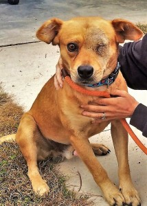 REMINGTON: Retriever mix, male, 2 years old, light brown and white, 46 pounds – $35