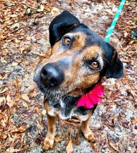 BOO:  Hound mix, female, 7 years old, black and red, 45 pounds – $0 (adoption sponsored by FOTAS donor)