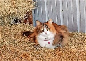 Adopted barn cat Callie gets comfy in her new digs, always ready to pounce on any mice that dare to wander onto her new owners' farm.