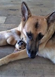 Sam Cato's German Shepherd, Max, cuddles a foster dog.