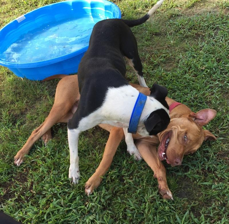 Haggis (brown Pibble) plays well with other dogs, like Sadie Mae here, at the County Shelter.