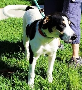 MORRIS: Retriever mix, male, 2 years old, white and black, 47 pounds – $35