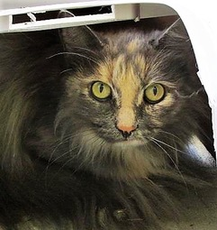 TESS: Domestic Long-haired cat, female, 8 years old, Tortoise shell, declawed (indoor cat only), 9.6 pounds - $10.00