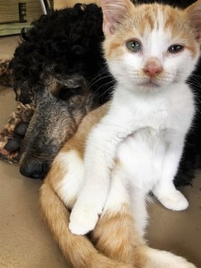 Poppy the Poodle mothers and plays with her latest foster kitten, Toby.