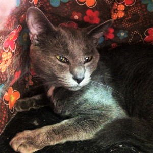 ZEPPELIN: Domestic Shorthair cat, male, 2 years old, gray, 8.7 pounds - $10