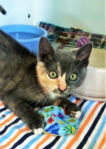 Domestic Shorthair cat, female, 3 months old, muted Tortoise Shell, 1.8 pounds - $10