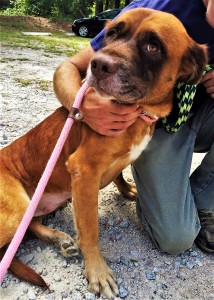 PENELOPE: Shepherd mix, female, 4 years old, red with white, 71 pounds - $35