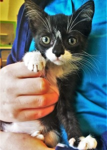 APOLLO: Domestic shorthair cat, male, 2 months old, black and white, 1.5 pounds - $10