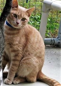 ERIK: Domestic shorthair cat, male, 1-1/2 years old, light orange Tabby, 10 pounds – $10 (available at Aiken PetSmart)