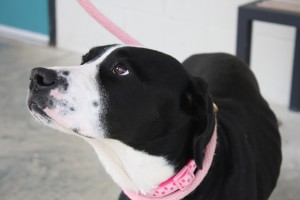 KELBIE: Retriever mix, female, 1-1/2 years old, black with white, 52 pounds - $35