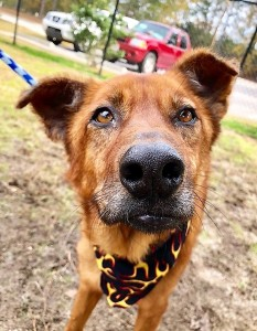 BOJACK: Shepherd mix, male, 8 years old, brown, 43 pounds, calm and sweet – $35
