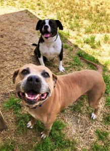 Big Dogs available for just $30 starting this Thursday include Mason and Chevy, two strays that weigh 57 and 72 pounds, respectively.